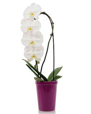 orquídea-regalo-de-último-minuto