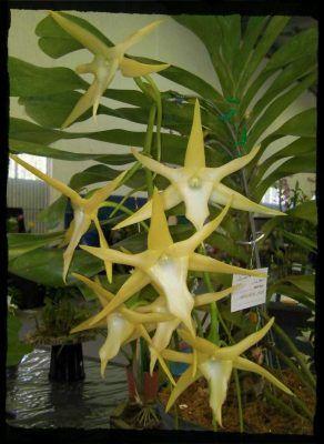 flores orquídea angraecum