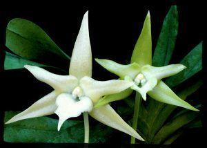 Flor Angraecum desde cerca