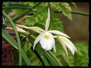 flor blanca brassavola