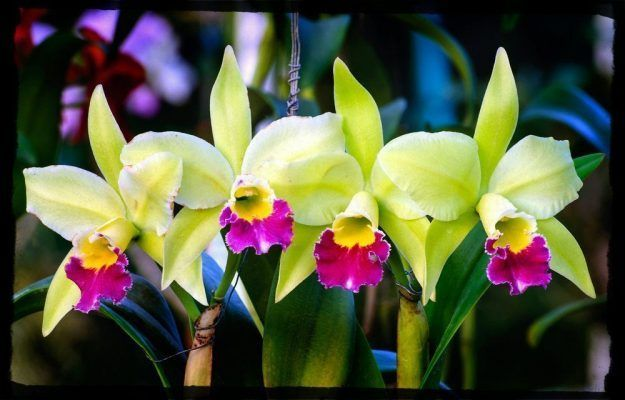 flores orquidea cattleya verdes