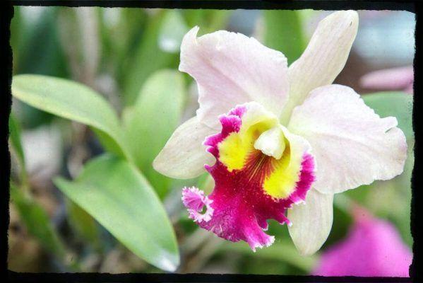 flor blanca orquídea cattleya