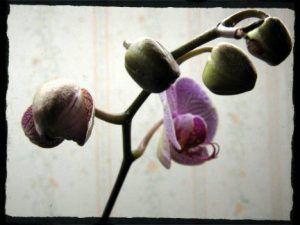 capullos de orquidea abriendose