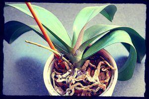 varas de flor de orquidea