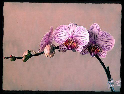 flor de orquídea en proceso de flocerer
