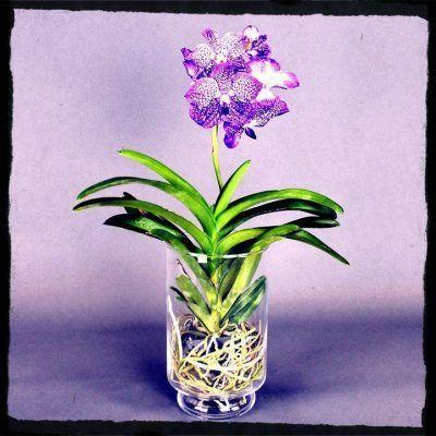 orquídea vanda morada en maceta