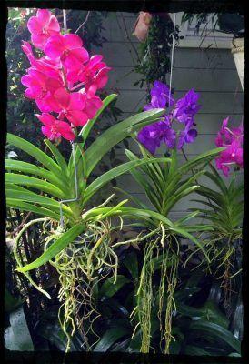 orquídea vanda colores