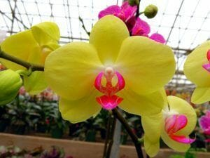 flor de orquidea phalaenopsis amarilla