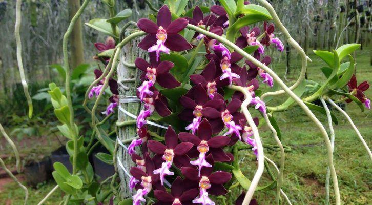 orquidea negra en la naturaleza