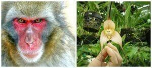 dracula simia y un mono