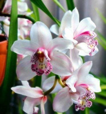 flor cymbidium blanca