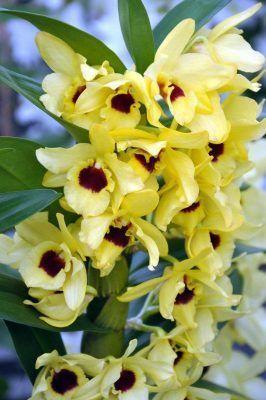 flor dendrobium nobile amarilla