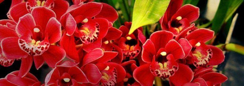 flor orquidea cymbidium roja
