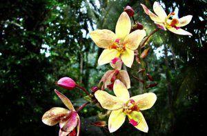 flor orquidea amarilla