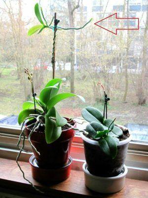 orquidea con keiki