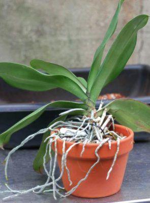 Como Trasplantar Una Orquídea Forma Segura Fácil Y Rápida