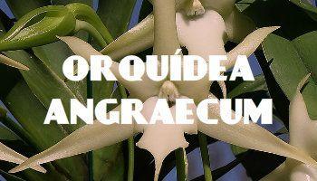 miniatura orquidea angraecum