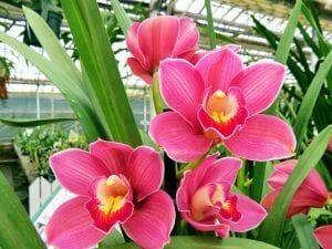 flores de la orquidea cybidium en color rosa