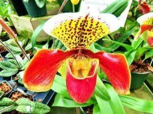 flor de la orquidea Paphiopedilum en color rojo y amarillo