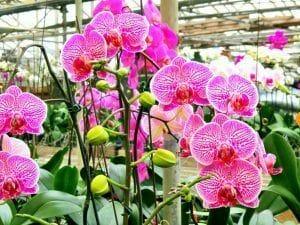 varias orquideas Phalaenopsis de color rosa