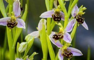 flores de orquidea abeja rosa