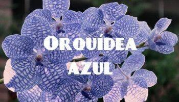 flores orquidea azul