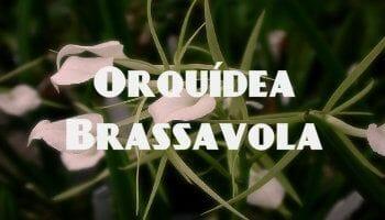 orquidea brassavola blanca