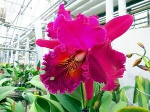 enorme flor de orquidea cattleya rosa
