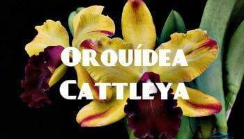 orquidea cattleya amarilla