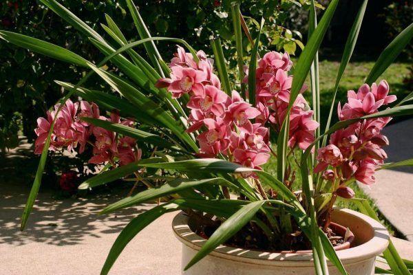 orquidea tipo hibrida exterior
