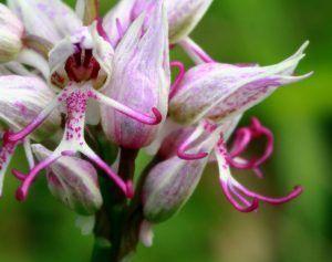 orquidea cuerpo de mono blanca y rosa