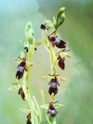 varias flores orquidea mosca