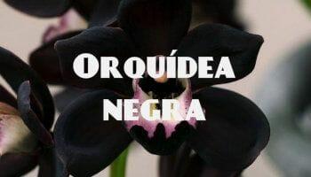 flor de orquidea negra