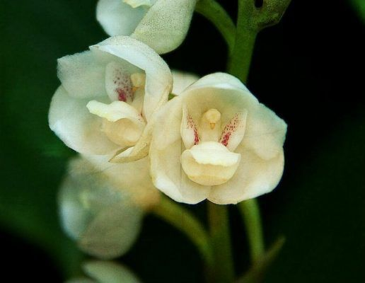flor orquidea paloma o espiritu santo blanca
