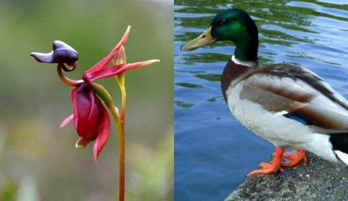 orquidea pato comparada con un pato