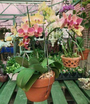 diferentes orquideas en sus macetas