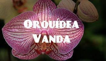 orquidea vanda rosa