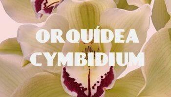 orquidea cymbidium miniatura