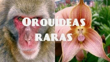 orquidea mono