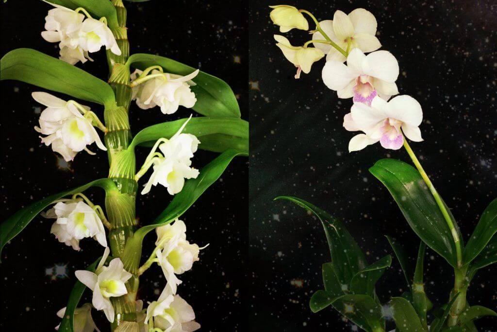 orquideas dendrobium phalaenopsis y nobile blancas