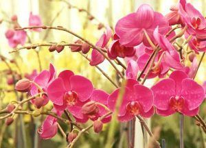 flor orquidea phalaenopsis rosa