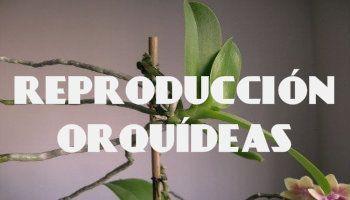 reproduccion orquideas