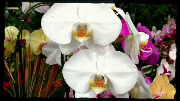 orquideas de diferentes colores