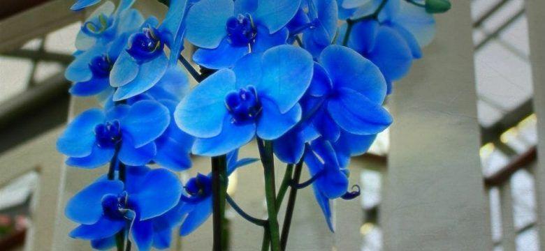 flor orquidea azul