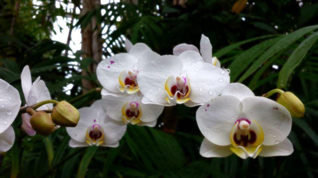 orquideas blancas en la naturaleza