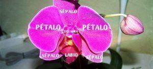 anatomia flor orquidea