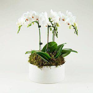 orquidea blanca en miniatura