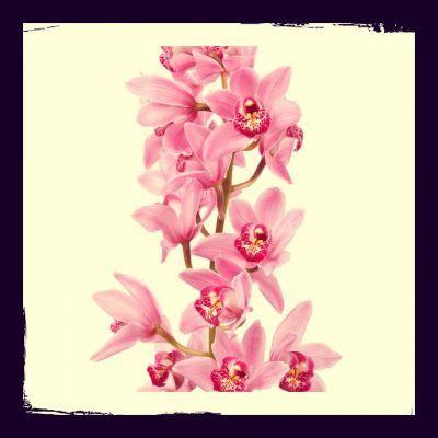 orquidea cymbidium mini
