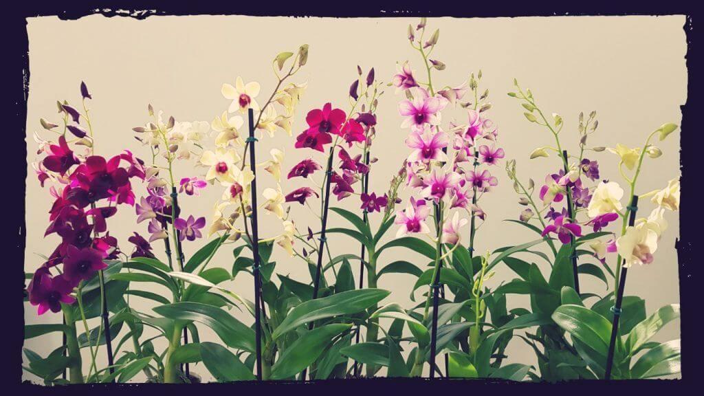 flores dendrobium phalaenopsis