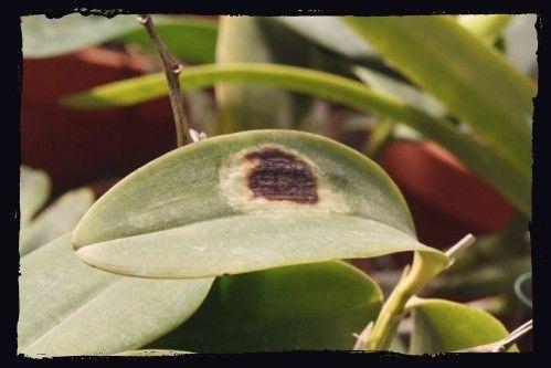 quemadura sol en orquideas mancha en oja orquidea